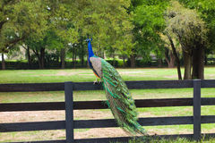 A peacock at a farm in ocala Stock Photography