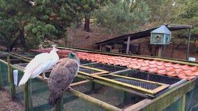 Peacock on farm stock image