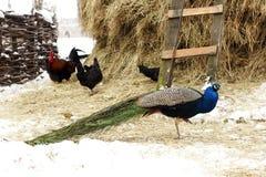 Peacock in farmyard winter serbia Stock Photography