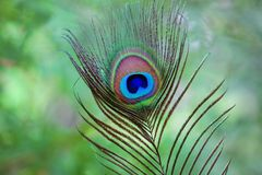 Peacock fearher stock photography