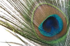 Peacock feather. Iridescent peacock feather on the white background stock photos