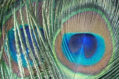 Peacock feather. Iridescent peacock feather on the black background royalty free stock photos