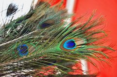 Peacock feather. A Colourful Male Peacock feather Royalty Free Stock Photo