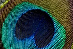 Peacock Feather. Close up of the fine detail in a peacock feather royalty free stock photography