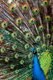 Peacock in Feather Stock Photography