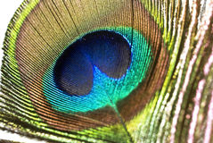 Peacock feather. Showing colorful palette stock photography