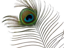 Peacock feather. Stock Images