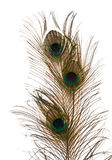 Peacock feather Royalty Free Stock Image