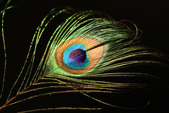 Peacock feather. Close up photo of a peacock feather, on a black background Royalty Free Stock Photography