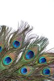 Peacock feather. Eye on white background Stock Photography