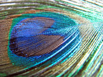 Peacock feather. Close-up photo of a beautiful single peacock feather showing wonderful iridescent colours Stock Image