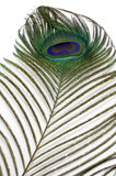 Peacock Feather. The Eye of Peacock Feather on white background Royalty Free Stock Photo