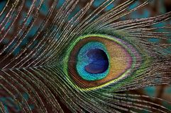 Peacock feather. Royalty Free Stock Image