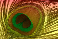 Peacock Feather. On colorful background Royalty Free Stock Image