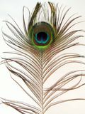 Peacock Feather. Bright colors peacock feather on white Stock Photo