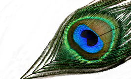 Peacock Feather. Showing the colorful eye Stock Image