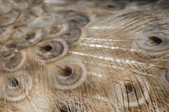 Peacock Feather Background Royalty Free Stock Images