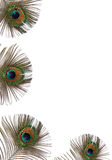 Peacock Feather Beauty royalty free stock image