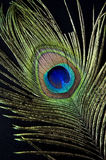 Peacock feather on black Stock Photo