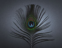 Peacock Feather. On blue background Stock Photos