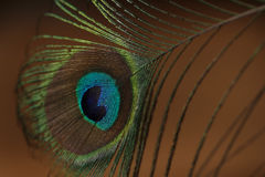 Peacock feather. On brown background Royalty Free Stock Photography