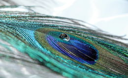 Peacock Feather. A clear water drop on top of a vibrant peacock feather royalty free stock photo