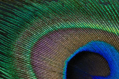 Peacock Feather Close Up. The close-up of the colourful peacock feather Stock Images