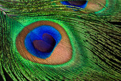Peacock feather close-up Royalty Free Stock Image