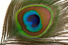 Peacock feather close up Royalty Free Stock Photo