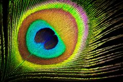 Peacock feather close up background Royalty Free Stock Photo