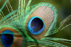 Peacock feather close up. The beautiful and divine bird of India, a wealth symbol Royalty Free Stock Images