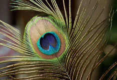Peacock feather close up. The beautiful and divine bird of India, a wealth symbol Royalty Free Stock Photo