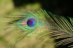 Peacock feather close up. Beautiful peacock feather close-up on the sun Stock Image