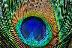 Peacock feather , close up Stock Photo