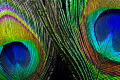 Peacock feather , close up Stock Image