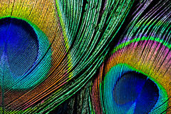 Peacock feather , close up Royalty Free Stock Images