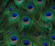 Peacock Feather Close Up Royalty Free Stock Photography