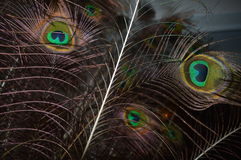 Peacock Feather. Close-up of a group of peacock feathers Stock Photos