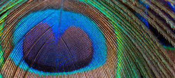 Peacock feather close-up, macro Stock Images