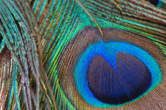 Peacock feather close-up, macro Royalty Free Stock Photo