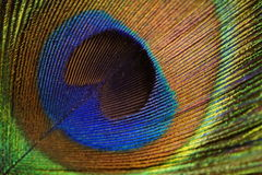 Peacock Feather. Close-up on the feather of a male Peacock royalty free stock image