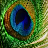 Peacock feather close-up Stock Photography