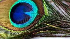 Peacock feather stock video