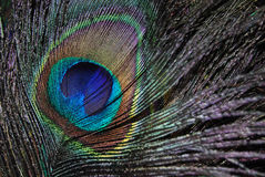 Peacock Feather. Close-up of peacock feather showing the eye Stock Photography