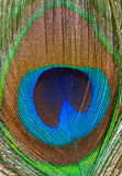 Peacock feather closeup Royalty Free Stock Photo