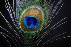Peacock Feather Closeup Stock Photography