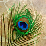 Peacock feather closeup on light brown tile background. Showing bright beautiful colors Stock Photography