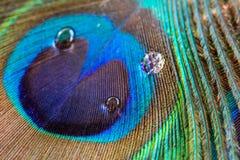 Peacock feather closeup, macro Stock Photos