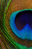 Peacock feather closeup Royalty Free Stock Image