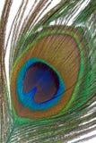 Peacock feather closeup Royalty Free Stock Photo